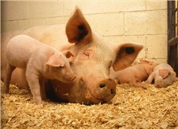 Effects of bile acids in nutrition of sows and piglets